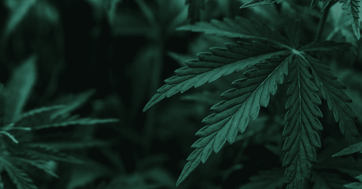 cannabis plant close-up of leaves